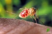 Тигровые комары в Израиле (фото)