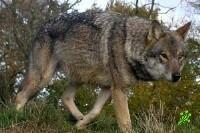 По Хайфе бродит сбежавший волк