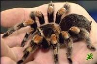 Хочешь развестись в Израиле - заведи тарантул