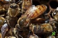 Пчелы станут искать террористов