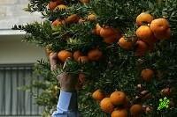 В России задержаны израильские мандарины