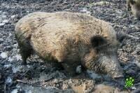 В Израиле свинья загрызла женщину