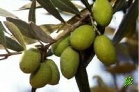 Мороженое из оливкового масла