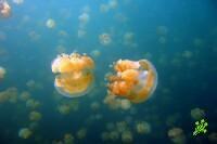 Неизвестные науке медузы появились в Израиле