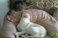 Собаки умнее кошек