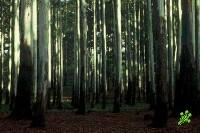 В Израиле отравлены десятки деревьев эвкалипта